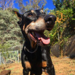 Doberman recover from testicular cancer