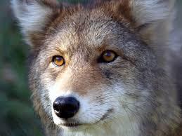 Carnivore-eyes
